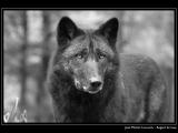 CASAUBON Jean-Michel - Expo 2018 - Papier 4 - Regard de loup