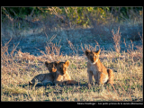 HOELLINGER Sabine - Expo 2018 - Papier 4 - Les petits princes de la savane (Botswana)