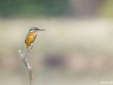 The Kingfisher.jpg