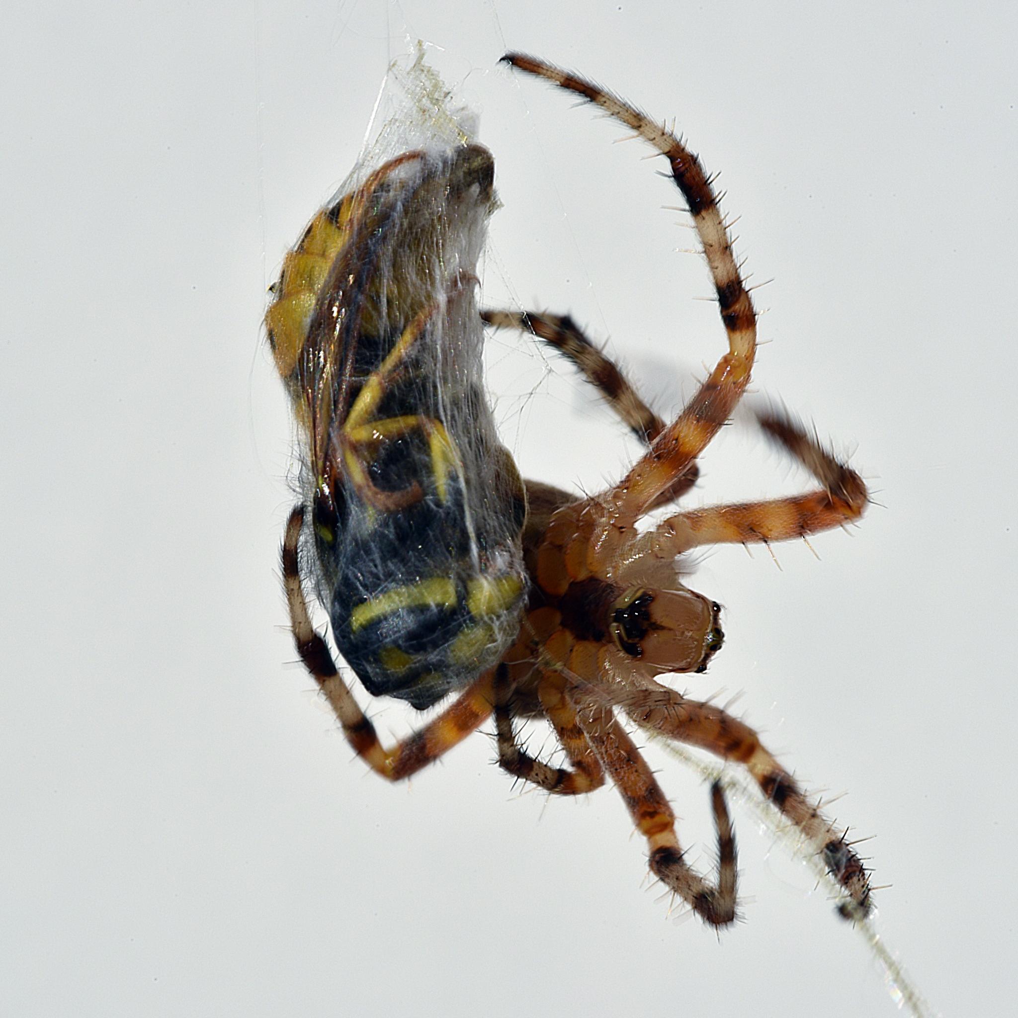 BAUER Jean-Maurice - Expo 2018 - Projection 2 - L'araignée porte-croix avec sa victime