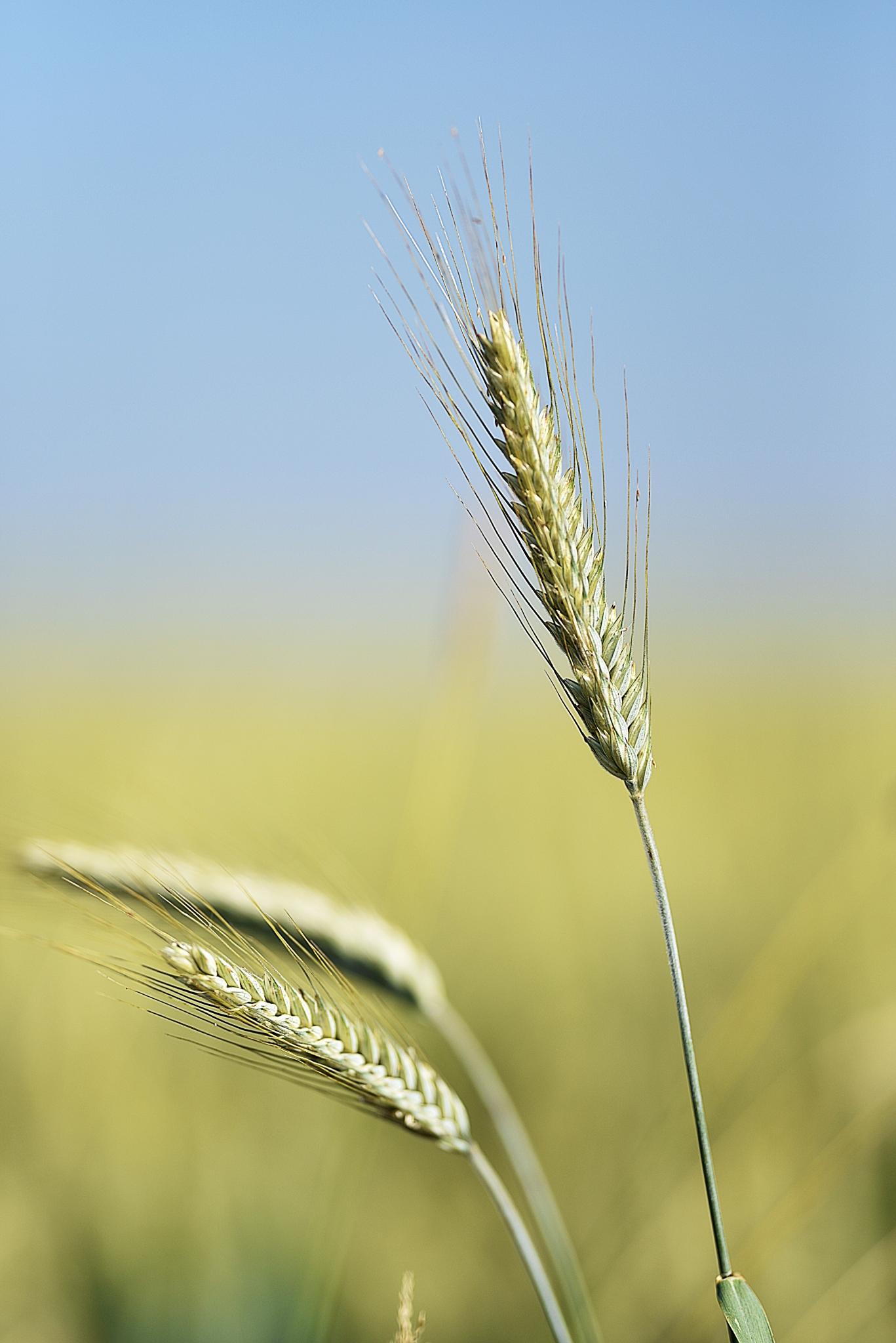 BAUER Jean-Maurice - Expo 2018 - Projection 3 - Le blé est prêt à être récolté