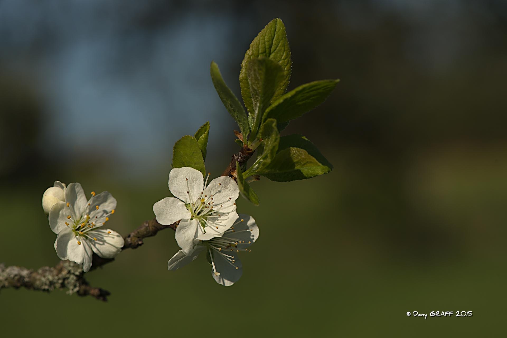 _D4D8361-Cerisier.jpg