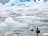 HOELLINGER Sabine - Expo 2017 - Projection 2 - Eiders et icebergs Jökulsárlón (Islande)