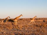 HOELLINGER Sabine - Expo 2018 - Projection 3 - Petit sprint avant la nuit (Namibie)