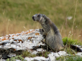 LANG Myriam - Expo 2017 - Projection 2 - Affût de la marmotte